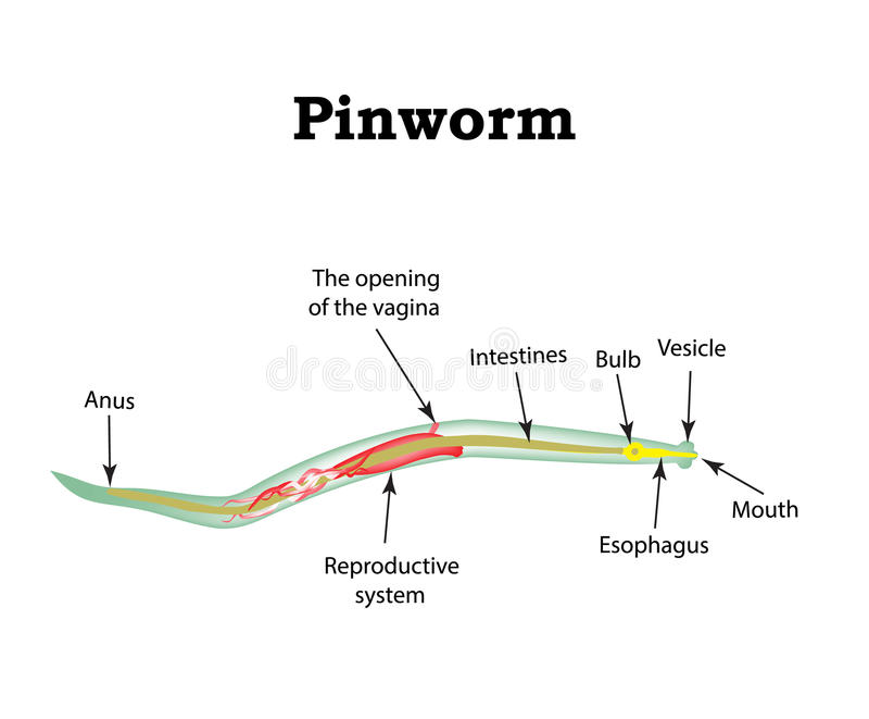 pinworm vektorok