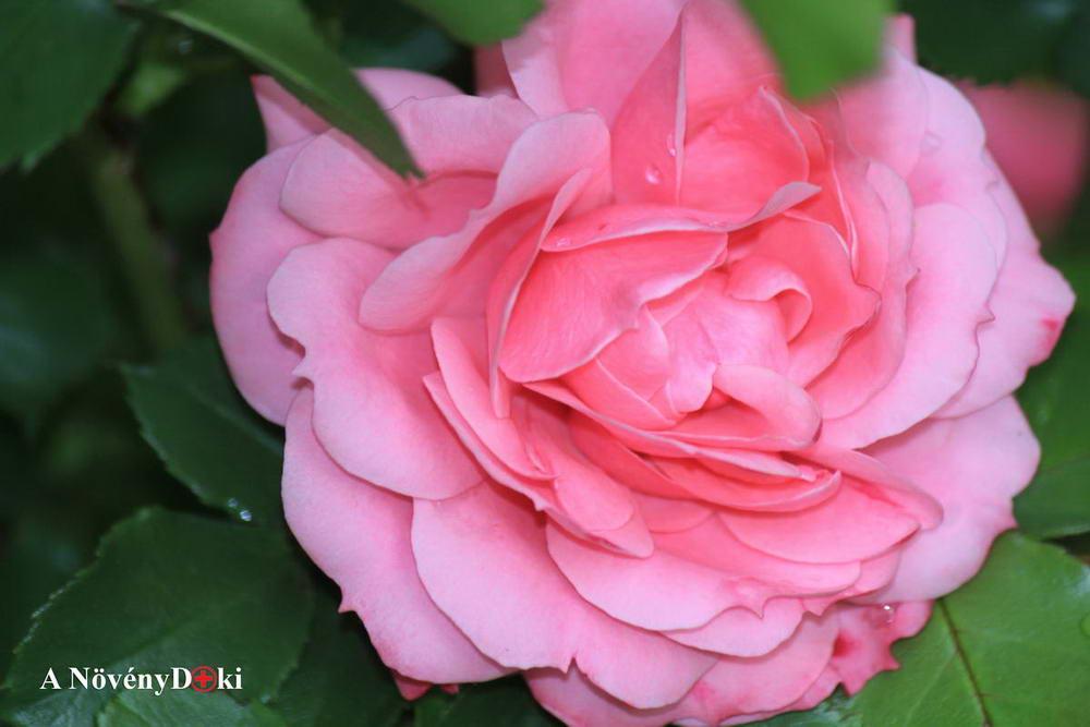 Rózsa parazita kezelés, Paraziták egy rózsa