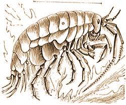 FÉREGATKÁK (Pentastomidae) | Brehm: Állatok világa | Kézikönyvtár