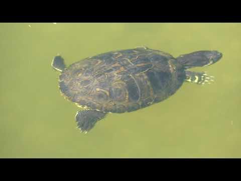 A teknősöm vizében kis férgek jelentek meg...