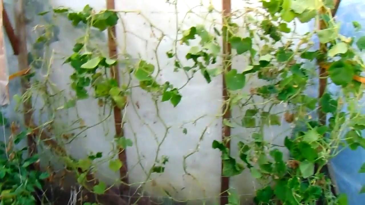 búzafű vagy paraziták intézkedések a pinworm fertőzés megelőzésére