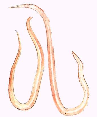 pinworms keresztirányban