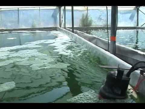 Spirulina férgek ellen. Alga helminták kezelése, Férgek és lebontás