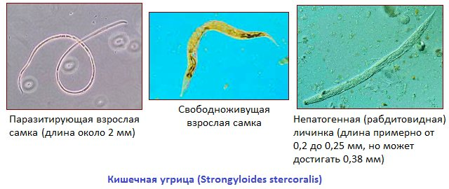 Strongyloid paraziták