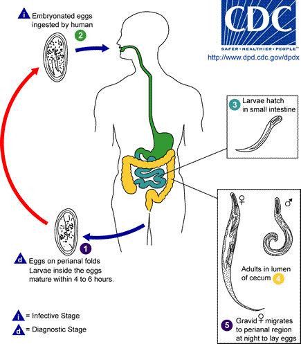 pinworms fejlődési ciklus diagram