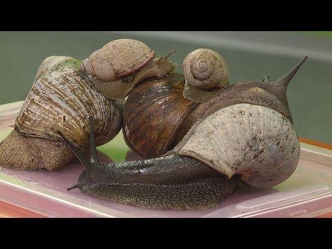 Gyógymód a meztelen csigák parazitái ellen - Gyermekek férgek számára gyógyszernév