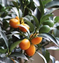 Hogyan neveljünk mandarinfát? - Gyümölcsfák - Gyümölcs