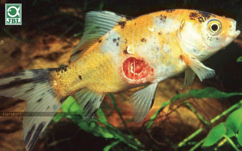 Tabletták a halakban élő paraziták számára