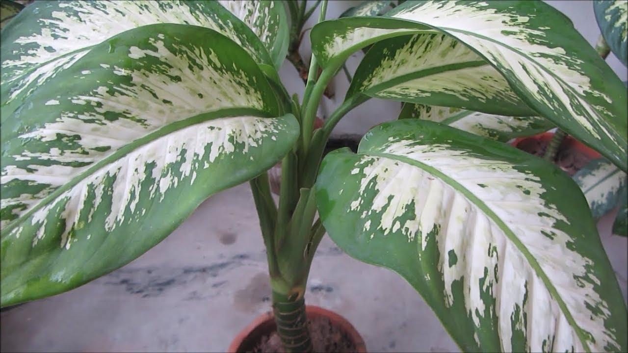 Paraziták a dieffenbachia leveleken