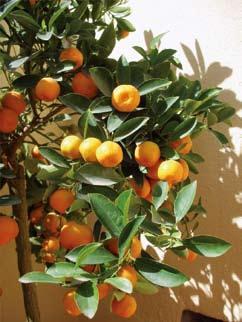 Calamondin (Citrus Madurensis), Lakás Narancssárga