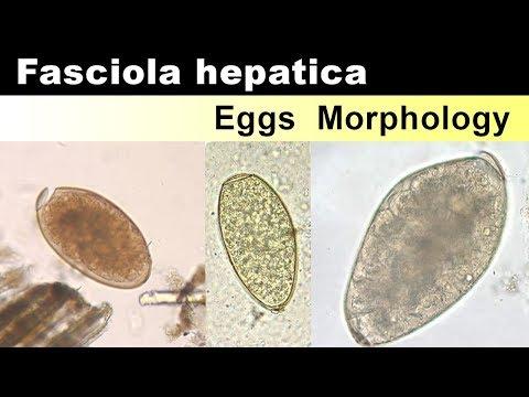 Fascioliasis gyógyszer - prohormones.hu