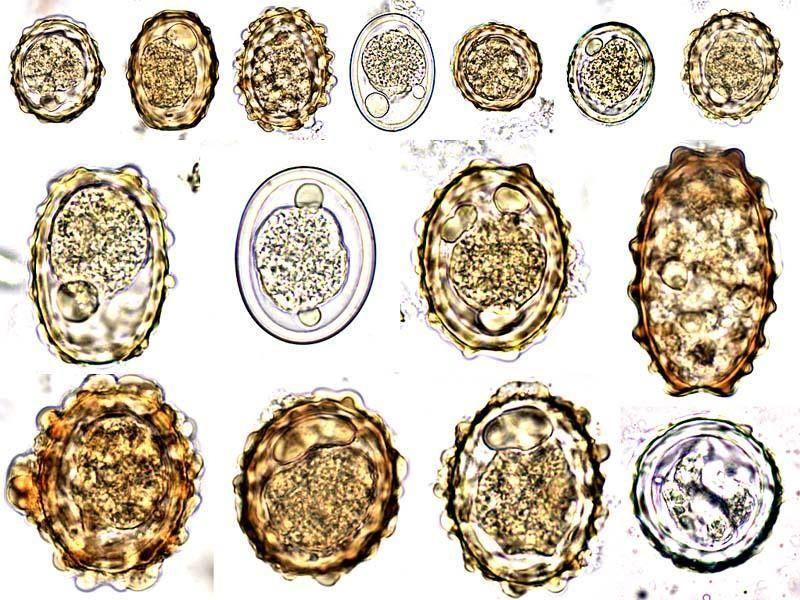 Ascaris tojások és lárvák Ascaris lárvák mérete
