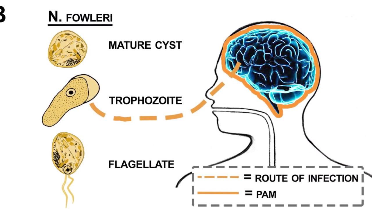 pinworms fejlődési ciklus diagram)