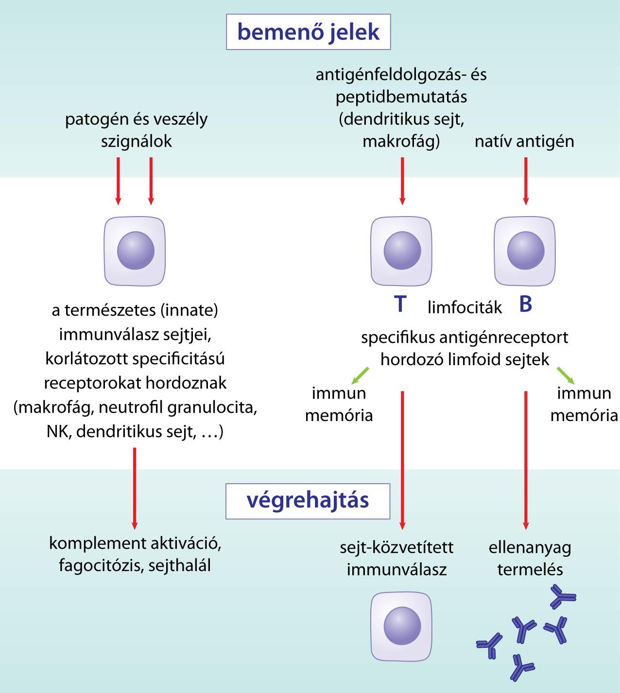 limfociták és paraziták)