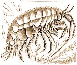 mely rákfélék parazitái)