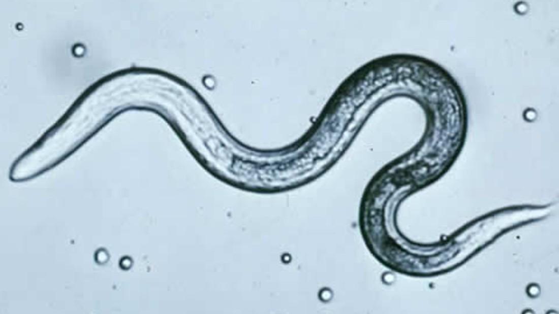 a pinworm parazita előkészítése)